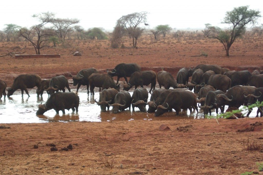Cape Buffalo in Tsavo East National Park in Kenya