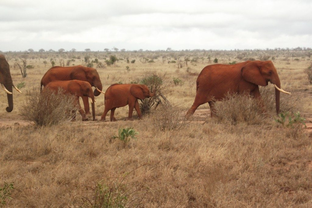 Elephant family in Tsavo East National Park in Kenya