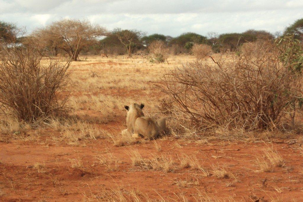 Female lion in Tsavo East National Park in Kenya